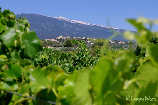 Entre vignes et mont Ventoux.