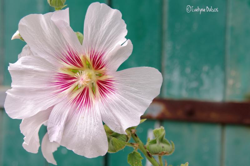 Roses trémières et... volets clos. (3)