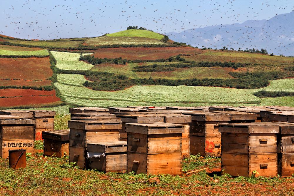 Les ruches.
