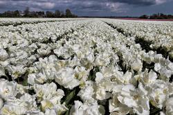 Au pays des tulipes.