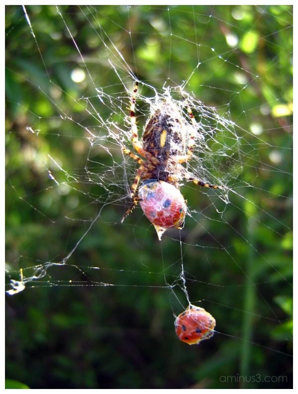 spider, ladybug
