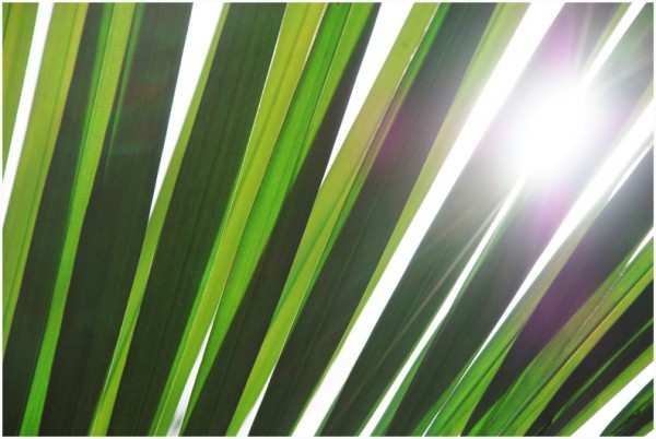 Sun shining through a palm leaf