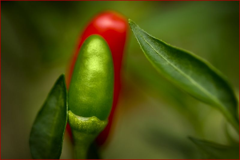 Thai Hot Peppers