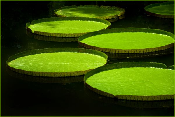 Victoria Lily, Kanapaha Botanical Gardens, Gainsvi
