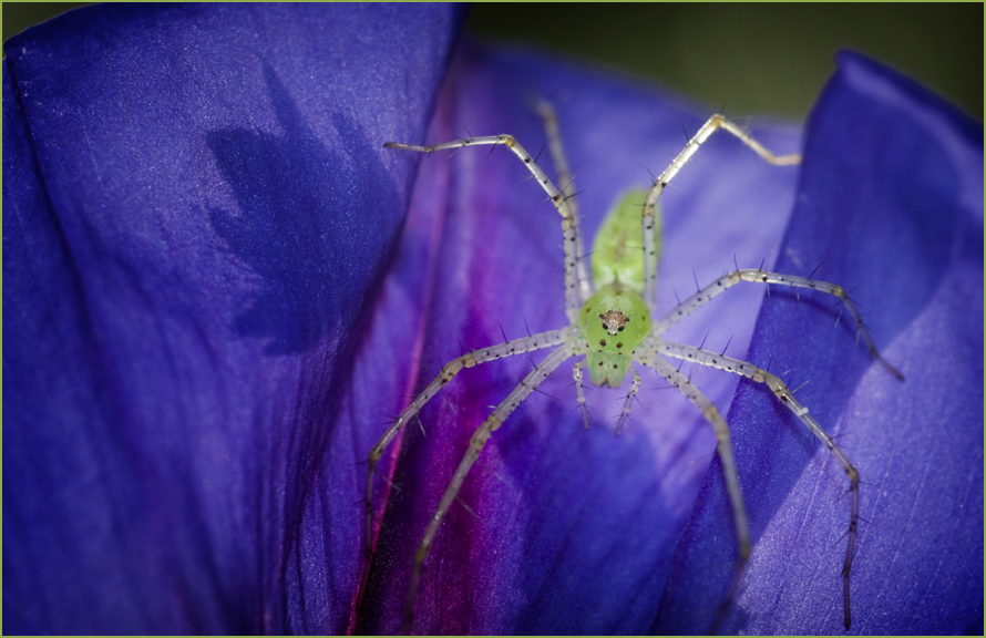 Spider on Morning Glory