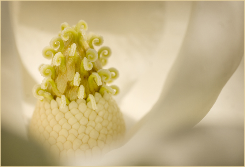 Inside a Magnolia Bloom