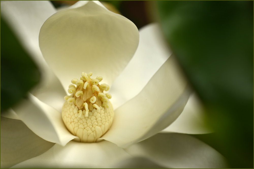 Magnolia Bloom Nikon Macro