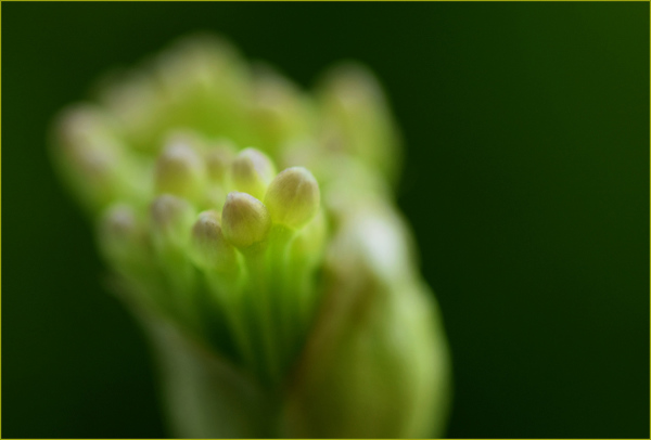 Garlic Bloom Nikon Macro