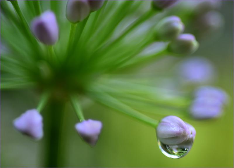 Raindrop on Ornamental Garlic Bloom