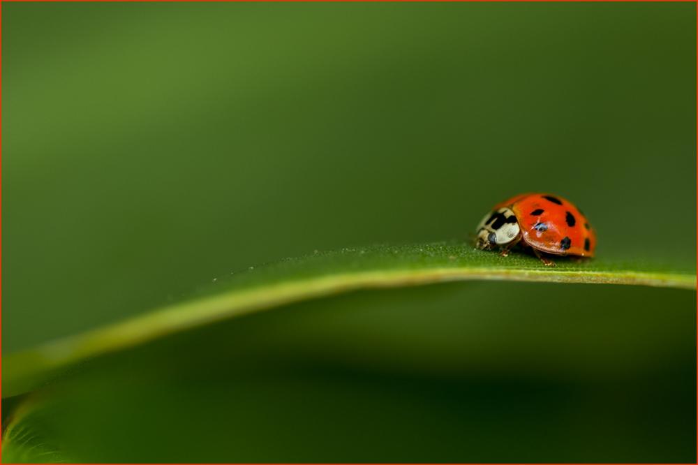 Leaf Surfing Ladybug