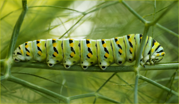 Caterpillar on Fennel
