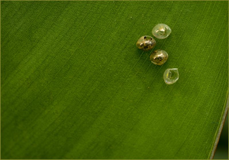 Eggs on a Leaf