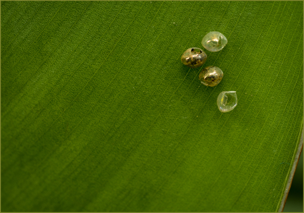 Eggs on a Leaf