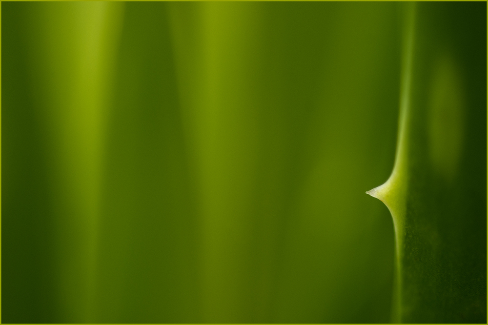 Edge of an Aloe Vera Leaf