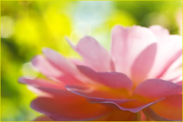 Amongst The Roses Nikon Macro