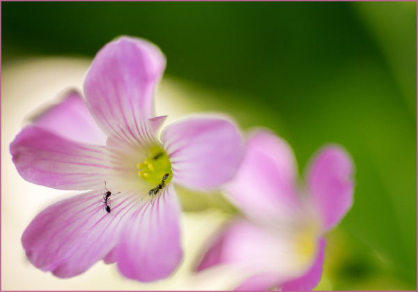 Ants On Pink Pillow Oxalis Shamrock Bloom Nikon Ma