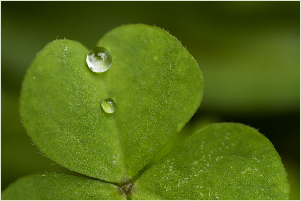 Raindrops on Clover Nikon Macro