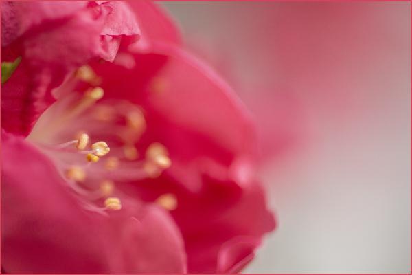 Peach Blooms Bonsai Nikon Macro