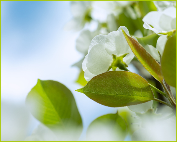 Pear Blossoms Nikon