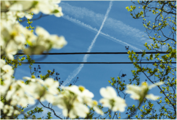 Dogwood Blooms, Power Lines and Contrails