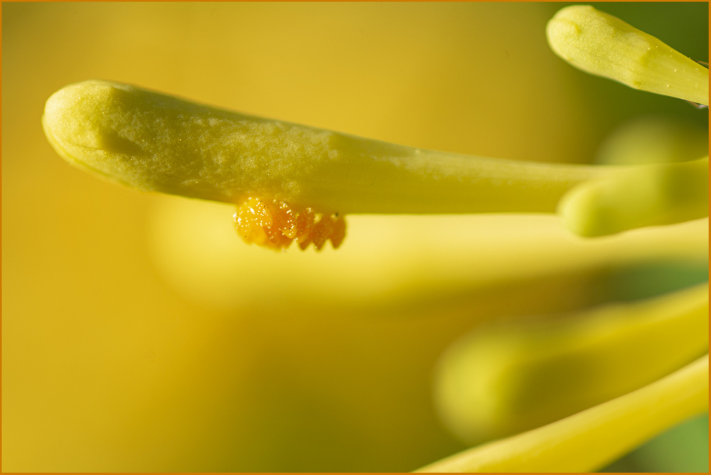 Insect Eggs on Honeysuckle Flower Nikon Macro