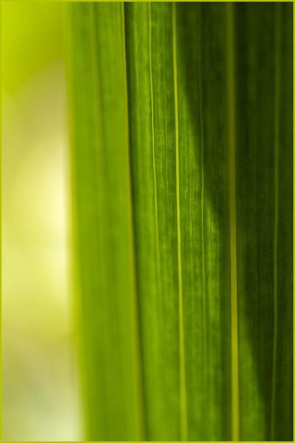 Gladiola Leaf 2021