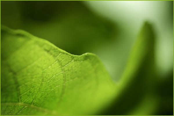 Fig Leaves Nikon Macro