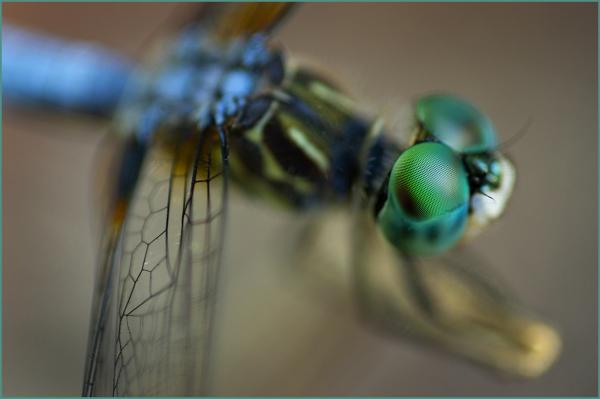 Blue Dragonfly II Nikon Macro
