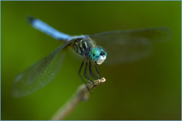 Blue Dragonfly Nikon Macro