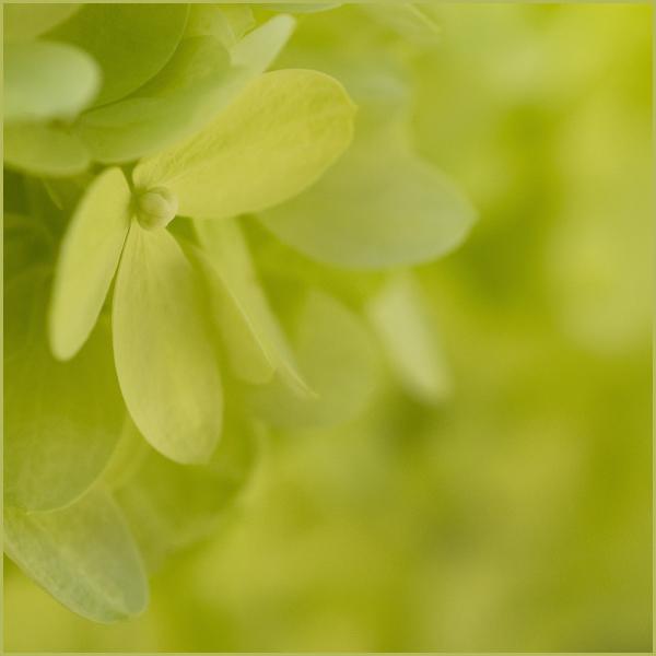 Limelight Hydrangea Nikon Macro