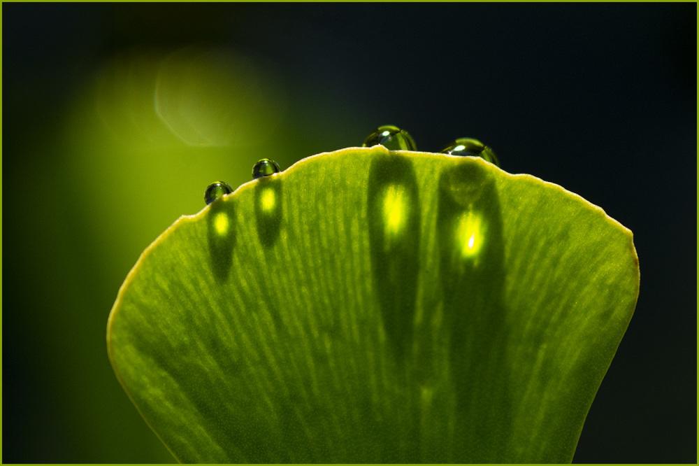 Raindrops on Water Clover Nikon macr
