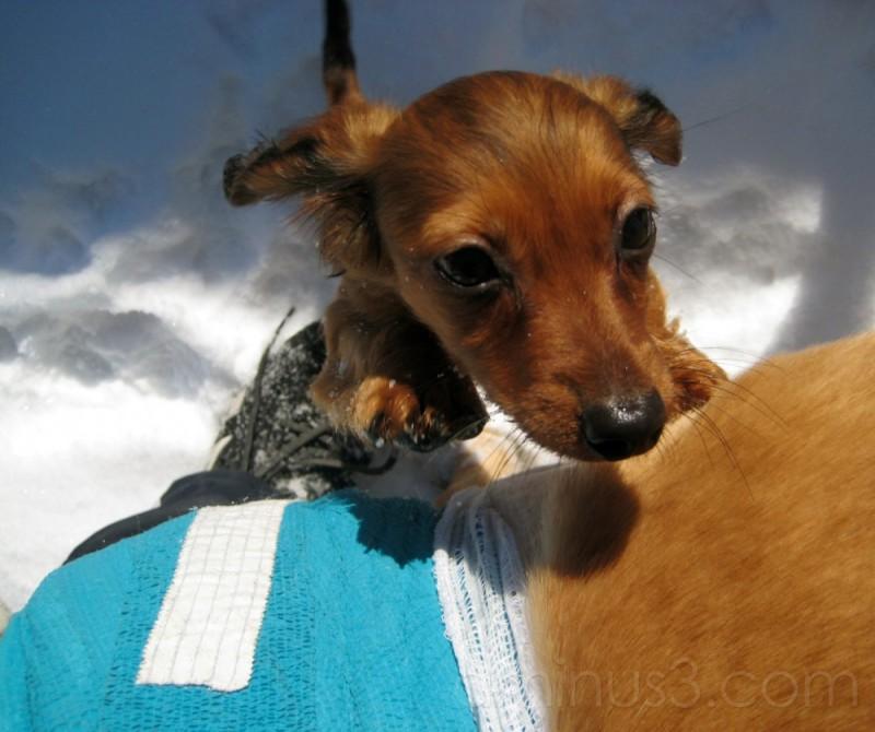 Little Dauschund pup