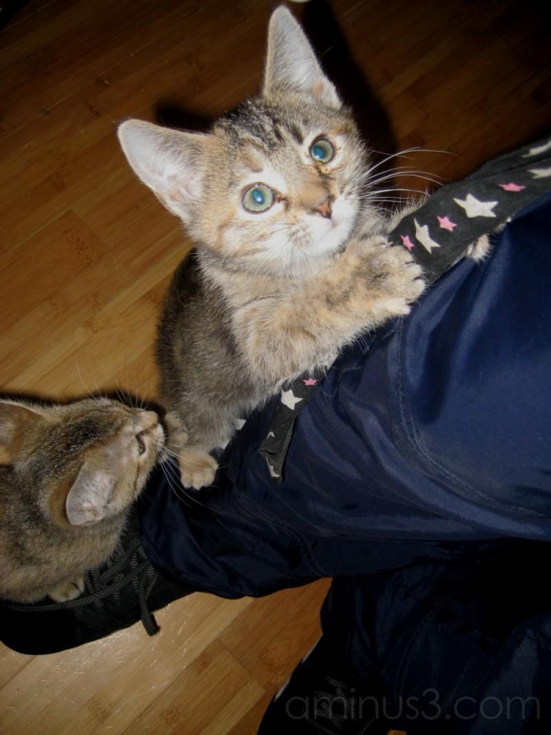 Kittens climbing leg