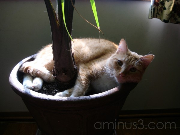 Cat Laying in Pot Dirt