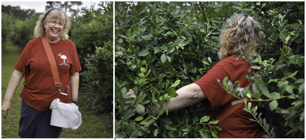 Blueberry picking in South Carolina