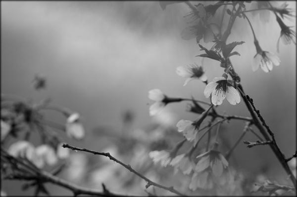 Spring blossom monochrome