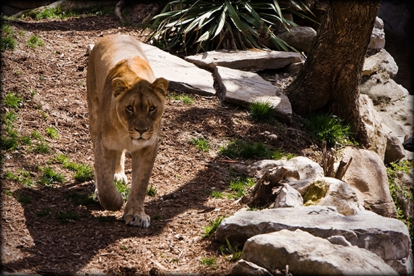 lioness at the St. Louis Zoo