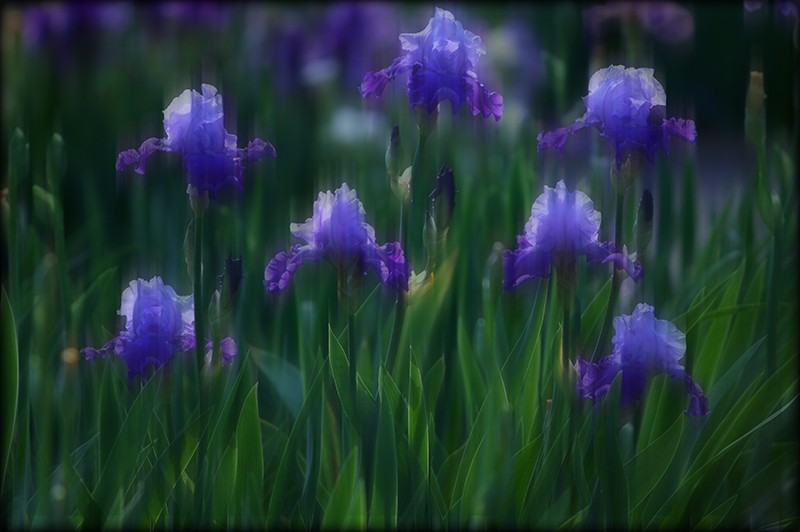 Iris inspired by Monet