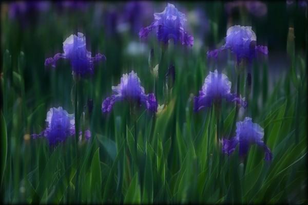 Iris inspired by Monet
