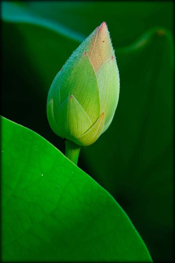 Sacred lotus bud