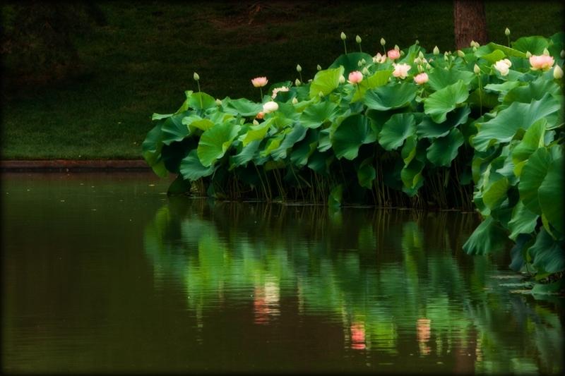Sacred lotus at dusk