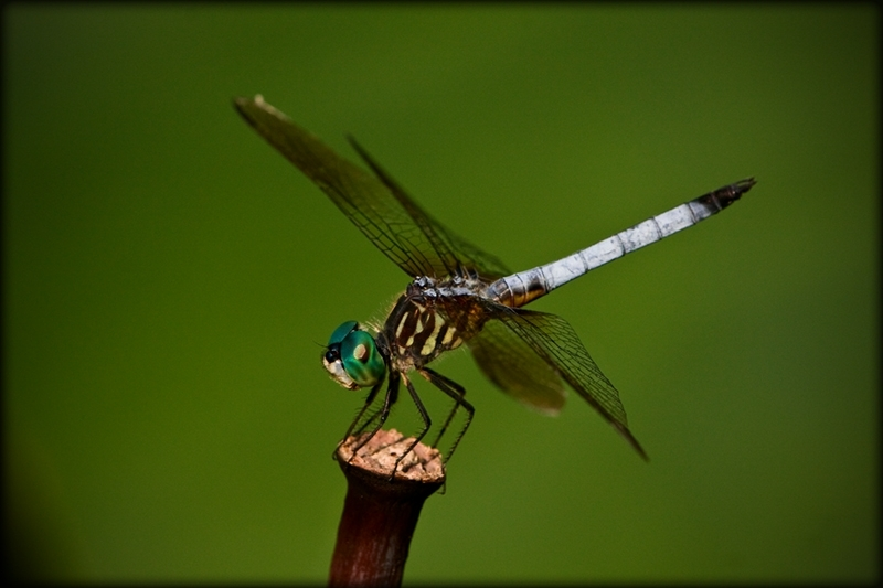 Dragonfly on lotus stem