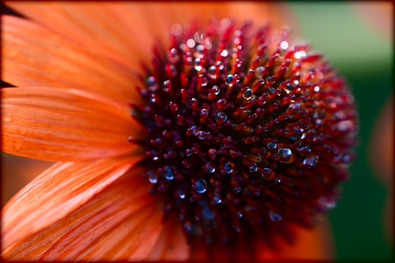 Orange coneflower at Missouri Botanical Garden