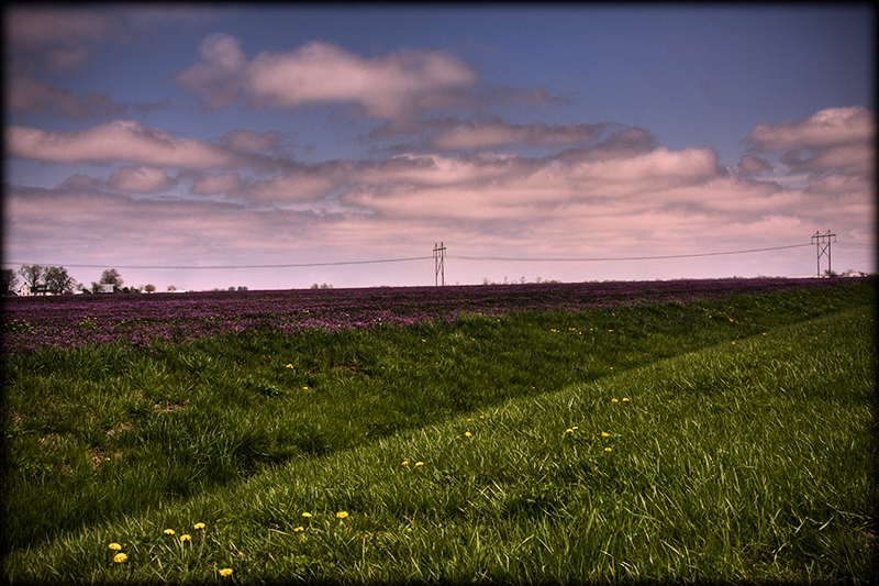 Purple prairies of Illinois