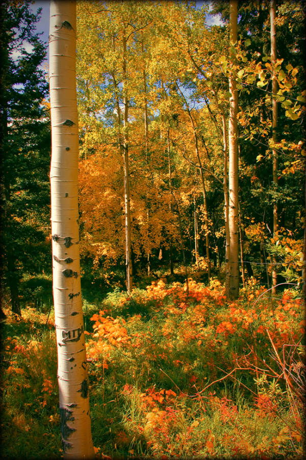 Golden aspens of Taos
