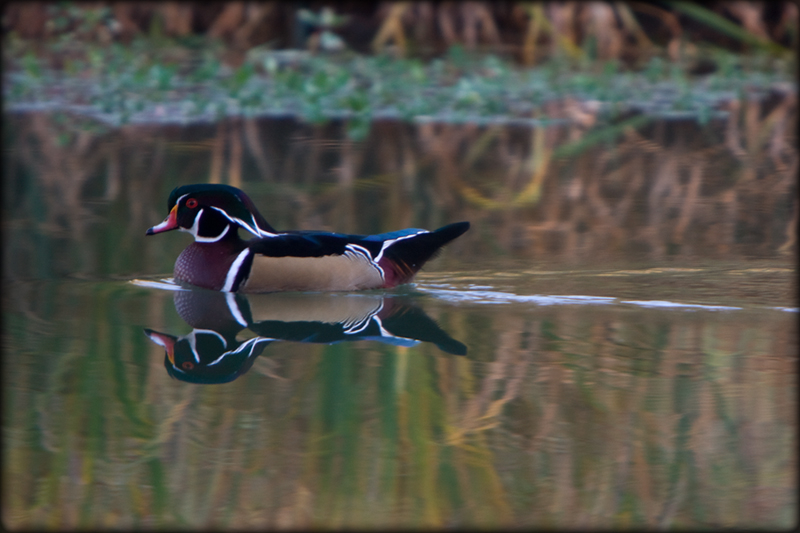 Male wood duck decked in autumn finery