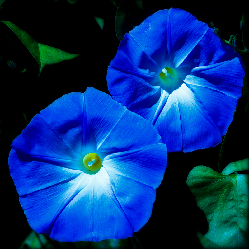 Blue morning glory