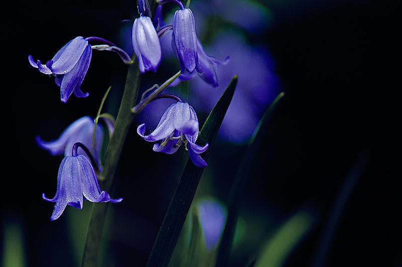 Bluebells at dawn ...