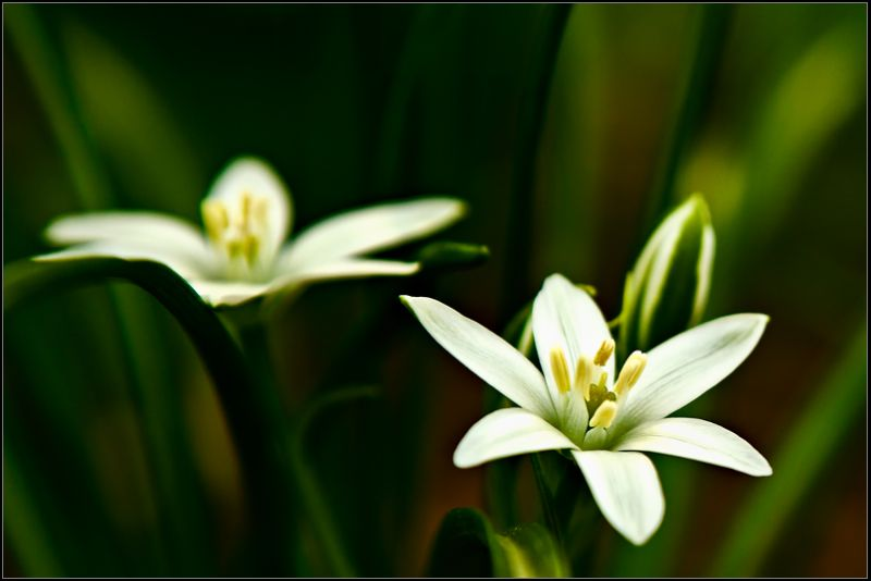 Star of Bethlehem ...
