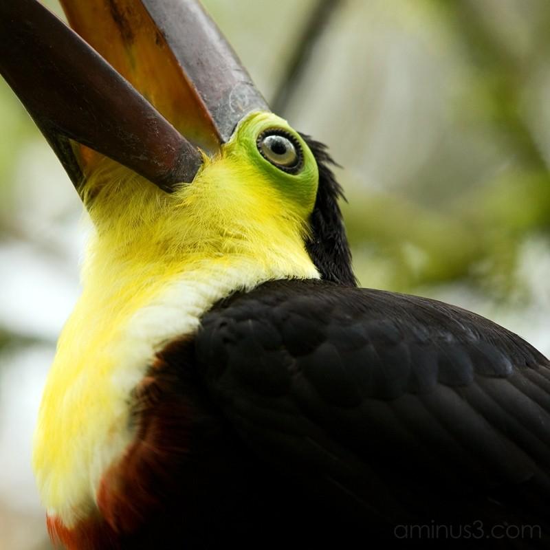 A Toucan